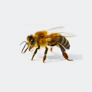 Disinfestazioni ecocompatibili Allontanamento api
