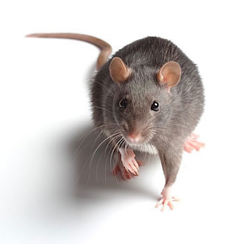 Disinfestazioni ecocompatibili Topi e Ratti