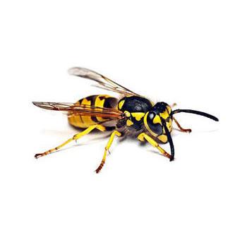 Disinfestazioni ecocompatibili vespe e calabroni