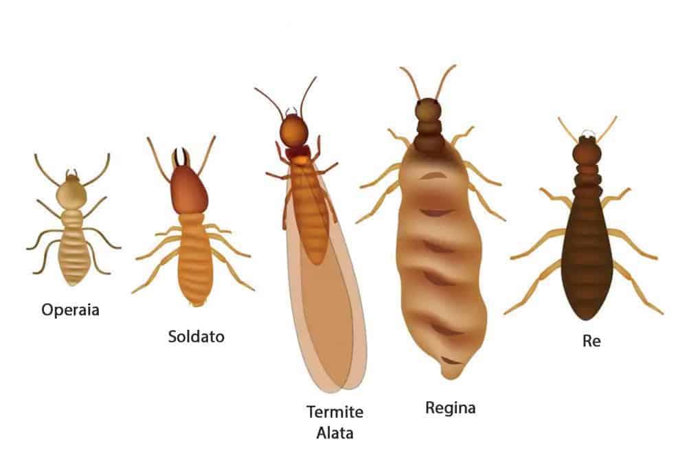 disinfestazione Moretta- termiti-colonia