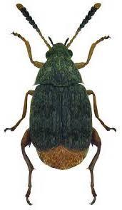Tonchio (Acanthoscelides obtectus)- Insetti delle Derrate Alimentari