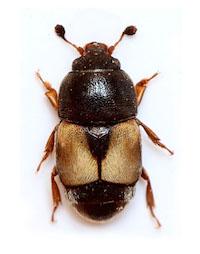 Carpofilo (Carpophilus hemipterus)