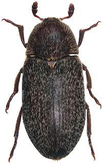 Dermeste maculato (Dermestes maculatus)