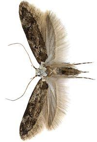 Endrosis sarcitella (Endrosis sarcitrella)