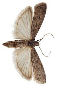 Tignola grigia della farina (Ephestia kuehniella)