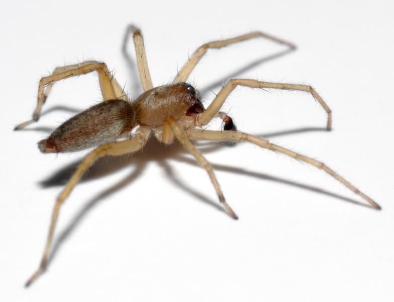 Ragni - Clubionidae