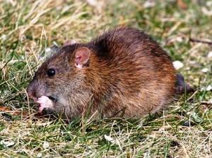 Derattizzazione Rattus Norvegicus